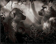 Nick Brandt: Baboons in Profile, Nakuru, 2007