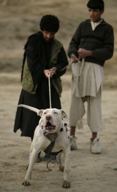 Hundekämpfer (keystone)