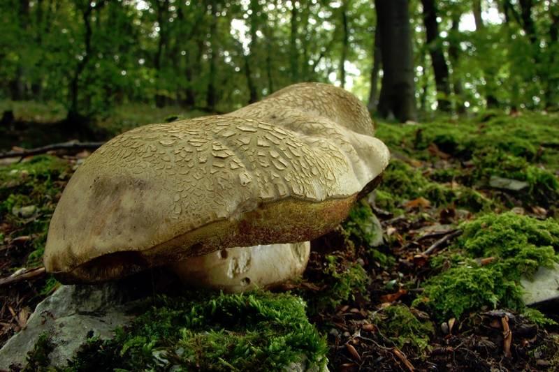 Pilz-Makrofoto: Kleiner Riese im Wald