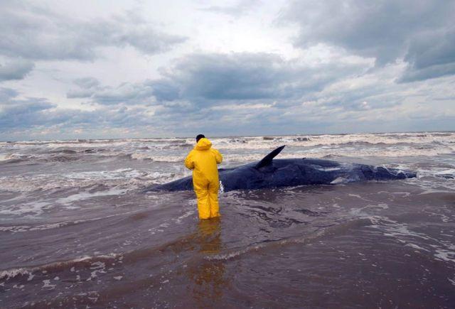 Helfer und gestrandeter Wal (keystone)