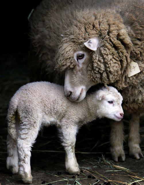 Das Lamm (keystone)