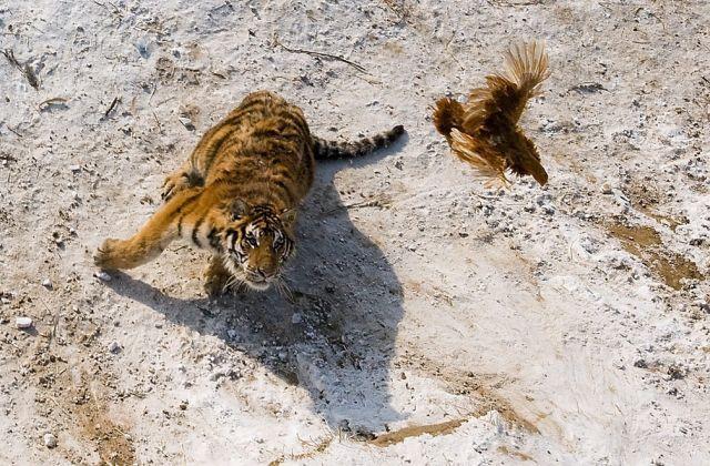 Sibirischer Tiger (keystone)