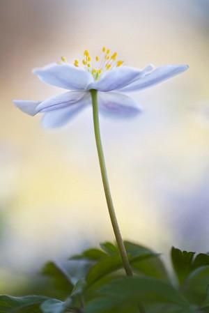 Blumenfotografie: Buschwindröschen, weichgezeichnet