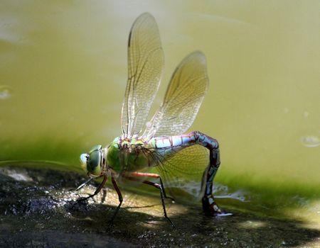 Makro-Naturaufnahme: Kleine grosse Libelle