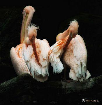 Pelikane in Pink: Das Hirschgeweih-Syndrom