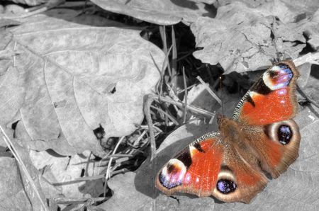 Schmetterling in Color-Key: Der abgekämpfte Frühlingsbote