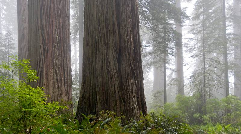 Ladybird Johnson Grove, Redwood Ntl. Park, Nordkalifornien (© Peter Sennhauser)