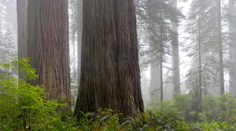 Ladybird Johnson Grove, Redwood Ntl. Park, Nordkalifornien (© Peter Sennhauser)