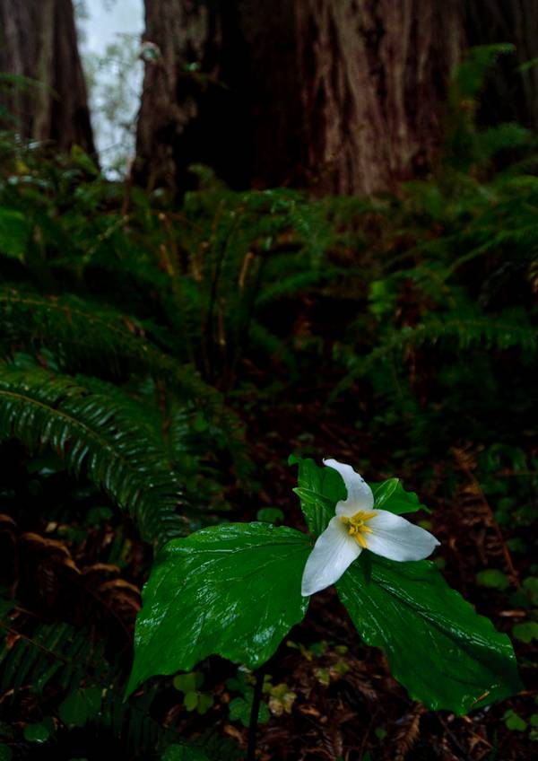 Waldlilie im Regen