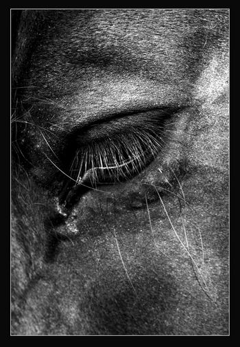 Pferdeporträt: Das tierische Auge