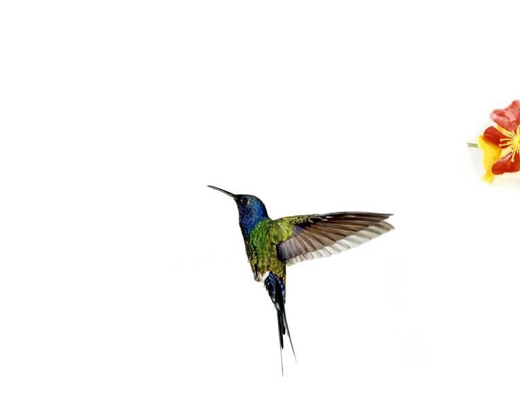 Sanna Kannisto - Hummingbird flight: Eupetomena macroura (Detail), 2005