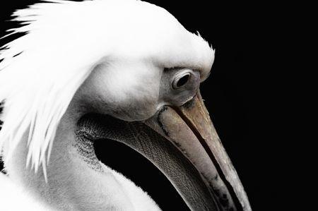Tierfoto: Des Pelikans Textur