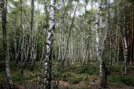 Landschaftsfotografie: Der Birkenwald voller Bäume
