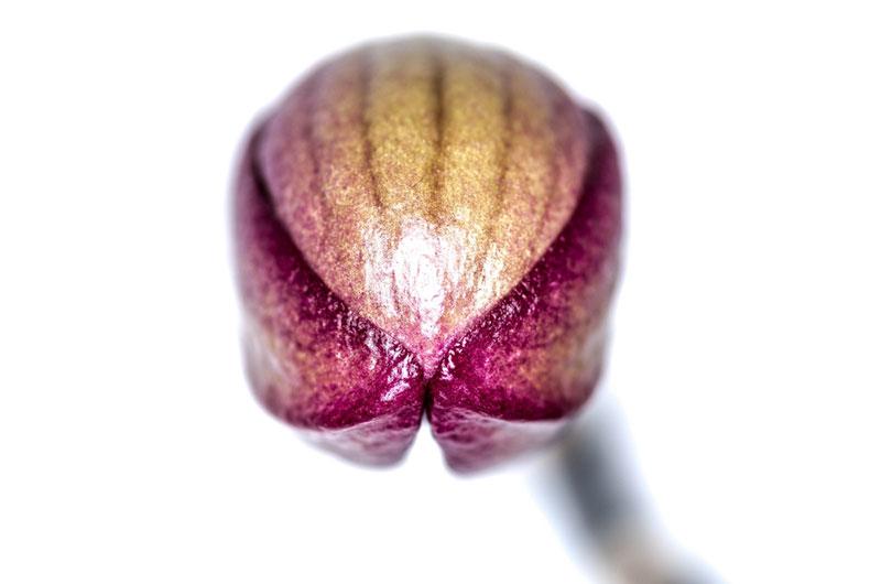 Leserfoto: Orchideenknospe in Makro – Alienattacke der Killerblumen