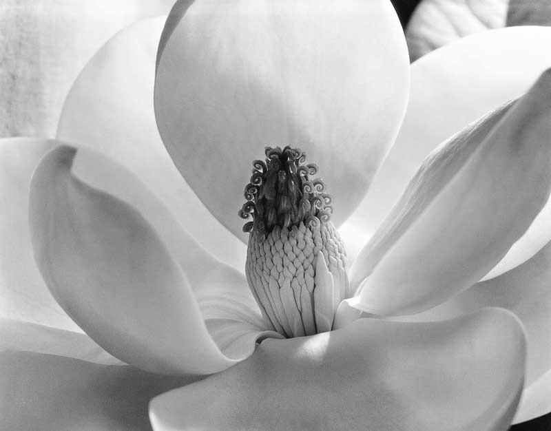 Magnolienblüte, 1925 © Imogen Cunningham Trust