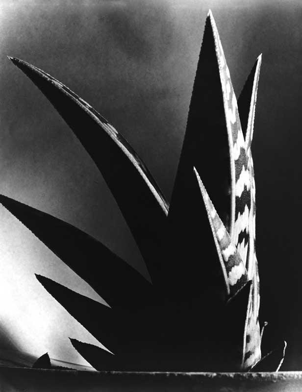 Aloe, 1925 © Imogen Cunningham Trust