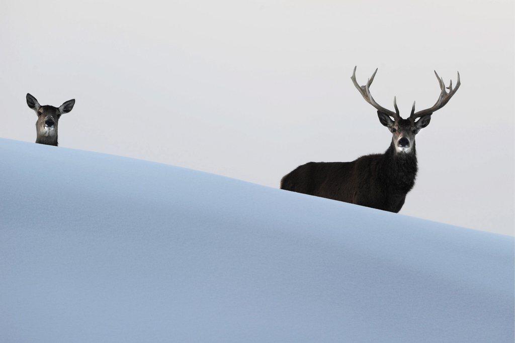 Neugieriges Hirschpaar bei Bregenz, Österreich (Keystone / EPA / Felix Kästle)