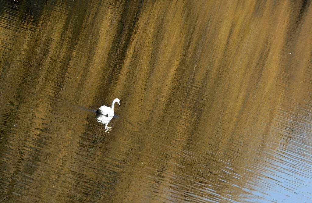 Ein Schwan schwimmt in Berlin auf der Spree. (Keystone/Jens Kalaene/picture-alliance/dpa/AP Images)