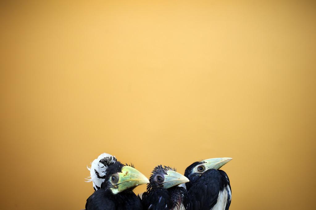 Drei Hornbills im Jurong Bird Park in Singapur (Keystone/AP Photo/Wong Maye-E)