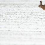 Ein Hase springt über ein schneebedecktes Feld in Garbse, nahe Hannover, Deutschland EPA/JULIAN STRATENSCHULTE