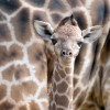 Germany Giraffe Baby