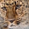 Leopard Xembalo im Zoo von Leipzig, Deutschland (Keystone/AP Photo/dap, Hendrik Schmidt)