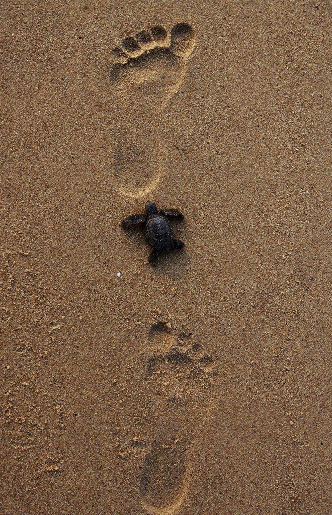 Eine Schildkröte in großen Fußstapfen bei Bhubaneswar, Indien (Keystone/EPA/STR)