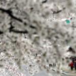 Kirschblüte in Seoul  (AP Photo/Lee Jin-man)