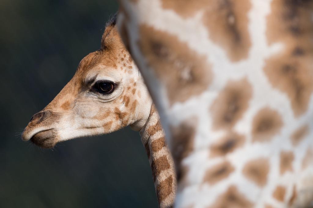 Giraffen im Tierpark Hagenbeck, Hamburg  (AP Photo/dpa,Sven Hoppe)
