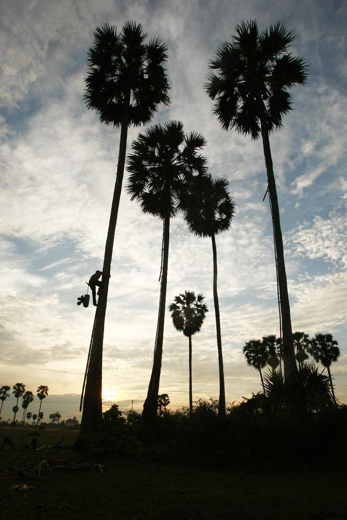 Ein Mann klettert am frühen Morgen auf eine Palme zur Palmweingewinnung, Phnom Penh. Kambodscha (AP Photo/Heng Sinith)