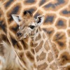 Giraffenbaby im Zoo Hannover (AP Photo/Sebastian Kahnert/dpa)