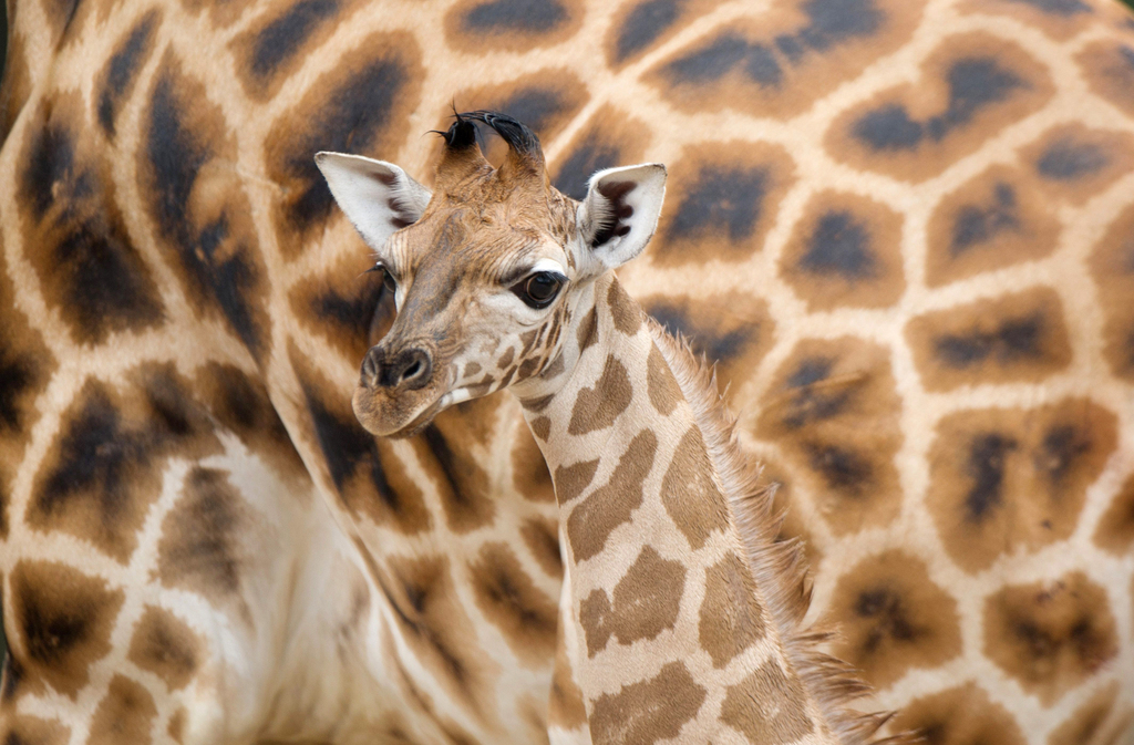 Giraffenbaby im Zoo Hannover (AP Photo/Sebastian Kahnert/dpa)