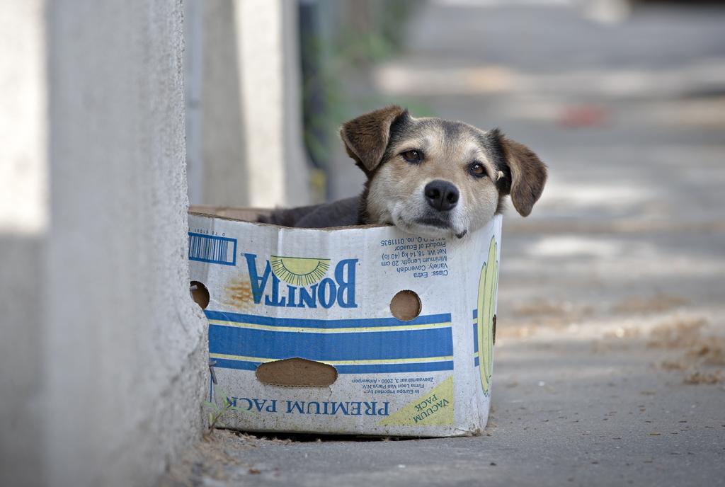 Straßenhund im Karton in Bukarest, Rumänien (Keystone/AP Photo/Vadim Ghirda)