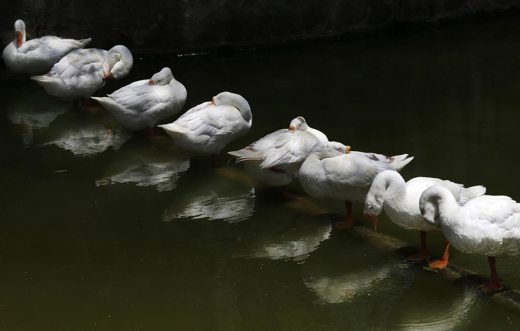 Schlafende Gänse, Neu Delhi, Indien (AP Photo/ Saurabh Das)