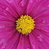Regentropfen auf einer Blüte, Stuttgart EPA/DANIEL BOCKWOLDT