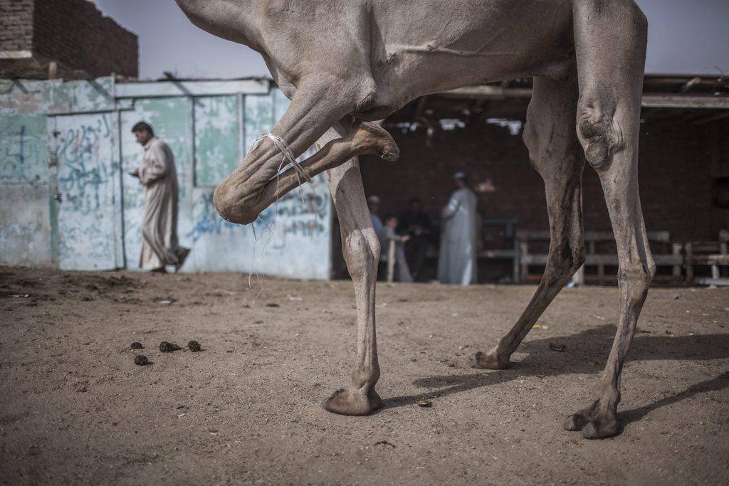 Kamelmarkt nördlich von Kairo EPA/OLIVER WEIKEN