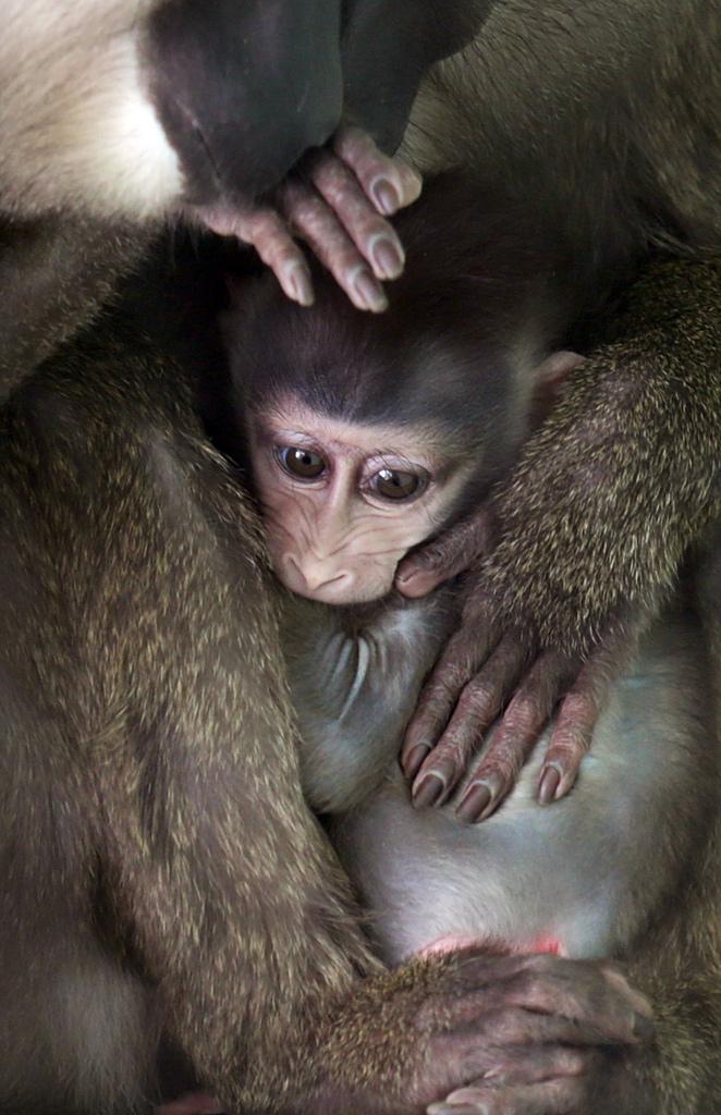 Mandrill-Baby im Zoo Hellabrunn, München (AP Photo/Matthias Schrader)