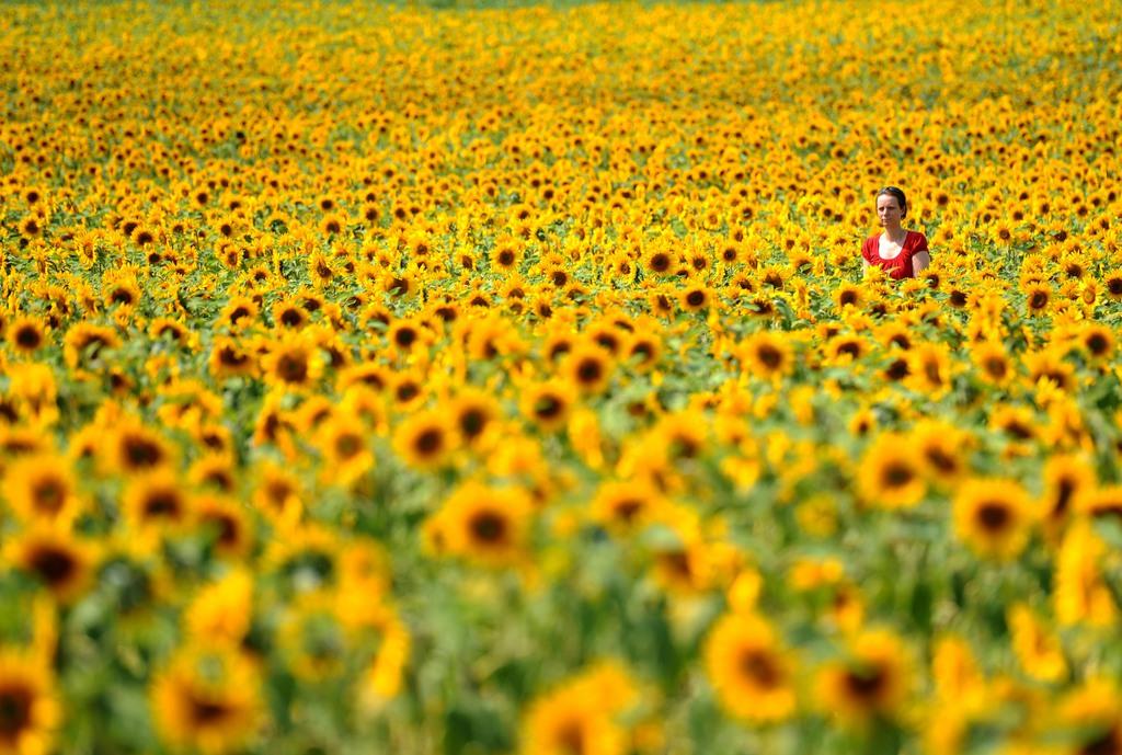 Sonnenblumen bei Meinigen, Deutschland (Keystone/AP Photo/dpa, Thomas Eisenhuth)