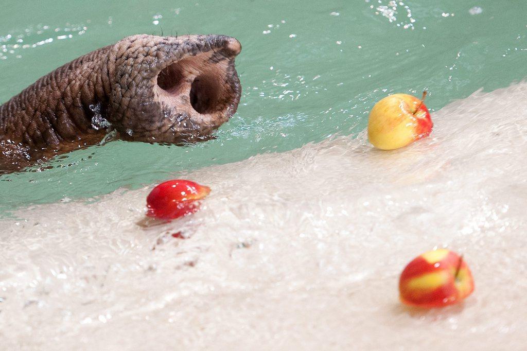 Elefantenrüssel und Äpfel im Wasser, Zoo in Neunkirchen D EPA/OLIVER DIETZE