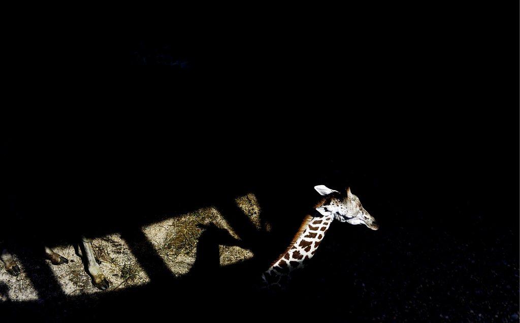 Eine Rothschild Giraffe im Zoo von Prag, Tschechien (Keystone/EPA/Filip Singer)