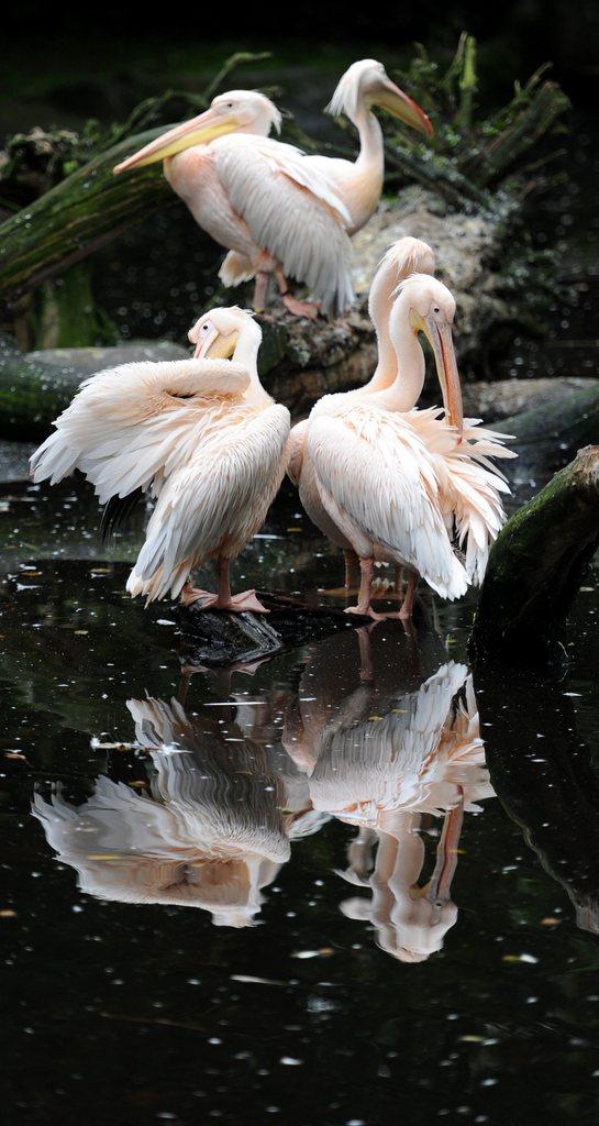 Pelikane im Zoo Hagenbeck, Hamburg EPA/ANGELIKA WARMUTH