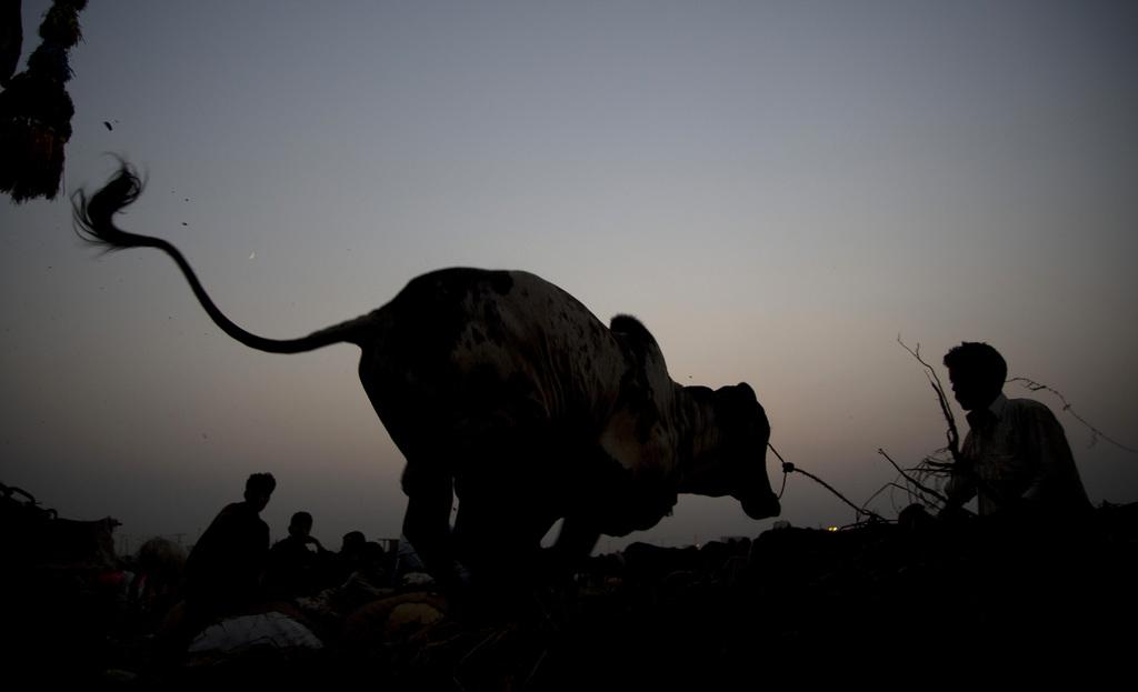 Eine Kuh wird aus einem Lastwagen ausgeladen, Islamabad, Pakistan  (AP Photo/B.K. Bangash)