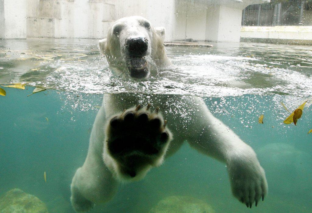 Eisbär sagt Hallo in Wuppertal, Deutschland (Keystone/EPA/Roland Weihrauch)