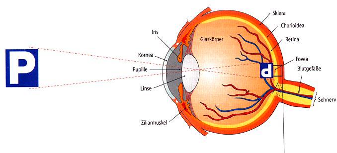 Querschnitt durch das menschliche-Auge