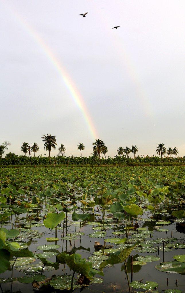 Teich mit Lotosblumen und Regenbogen, Thailand EPA/BARBARA WALTON