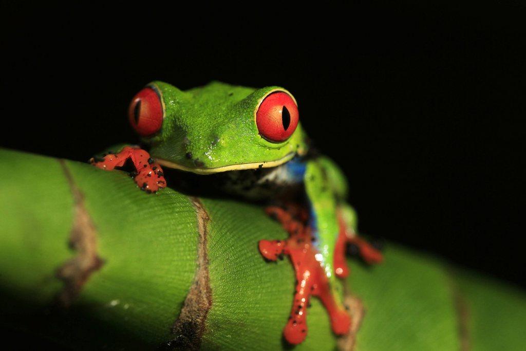 Baumfrosch mit roten Augen im Regenwald Costa Ricas, EPA/Jeffrey Arguedas
