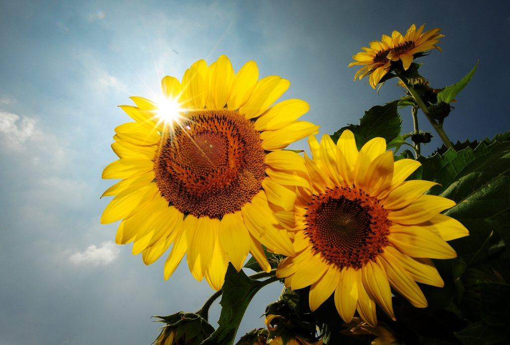 Sonnenblumen in Bangalore, Indien (Keystone/EPA/Jagadeesh NV)
