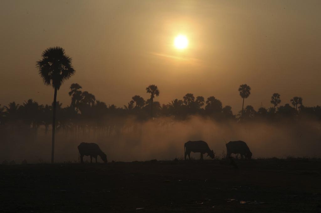 Nebel und grasende Kühe am frühen Morgen, Haidarabad Indien (AP Photo/Mahesh Kumar A)