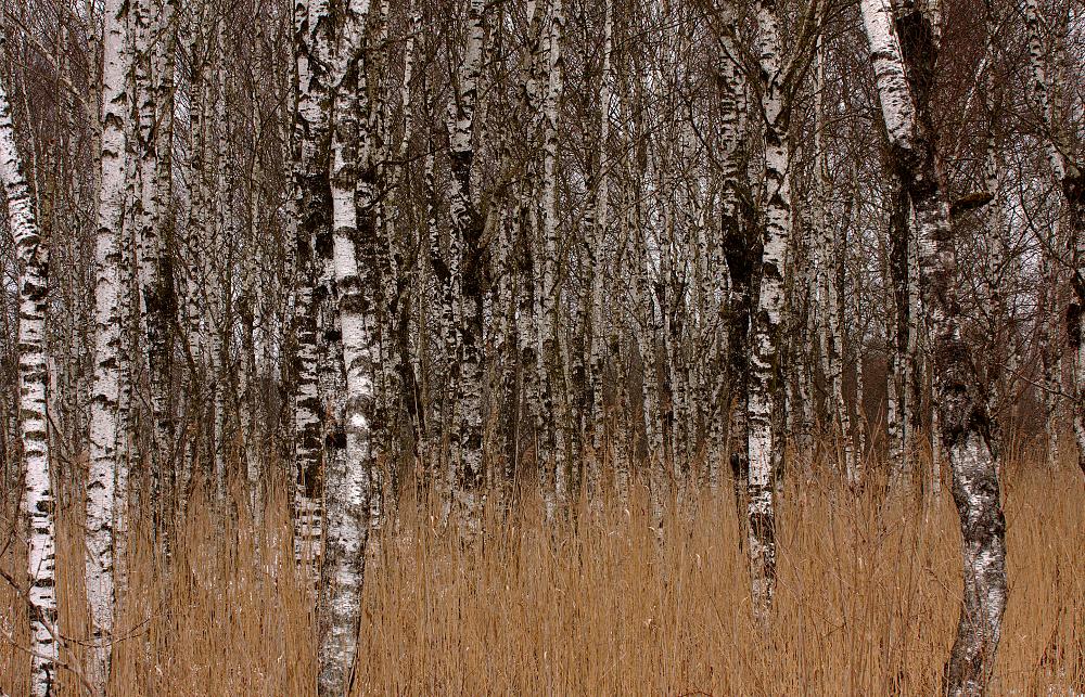 Bild 7 ('Birkenwald' von Dirk Altehoefer)