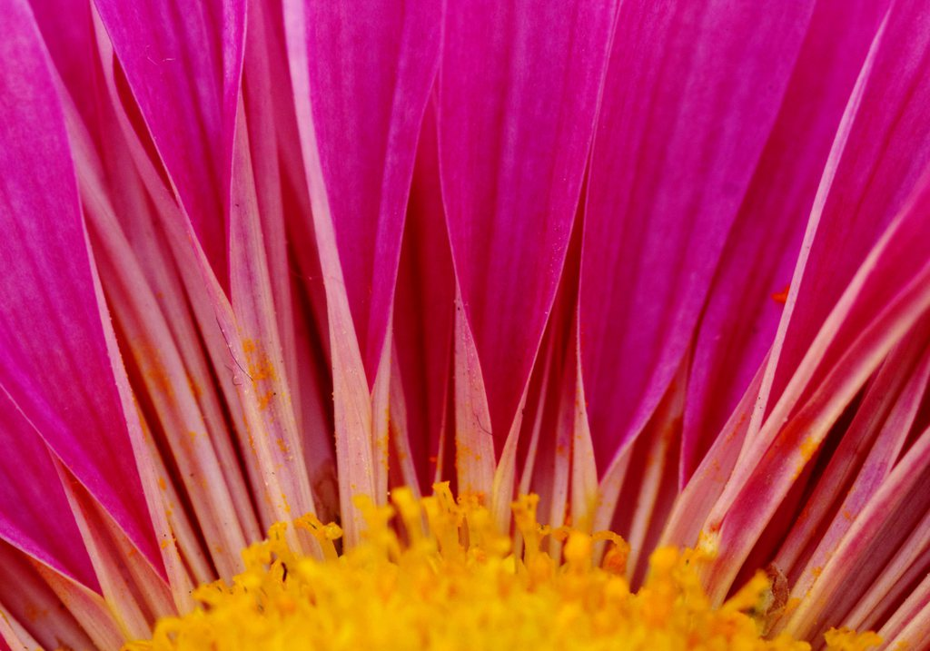 Chrysantheme in Lahore, Pakistan (Keystone/EPA/Omer Saleem)